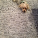 San Carlos-Dog-carpet-clean