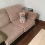 San Carlos-Sofa-Pet-Stain-Cleaning